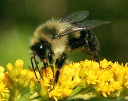 Difference Between Bumble Bees Bumblebee And Wood Boring