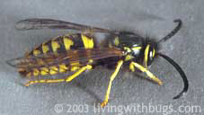 male yellowjacket wasp