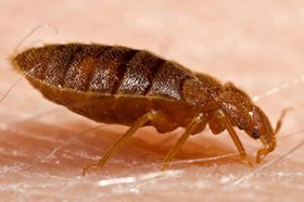 bed bug picture -                                 side view