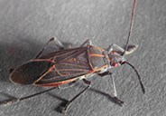 boxelder bugs are a diy pest control project