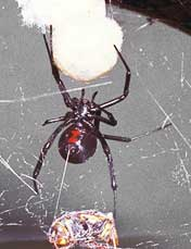 black widow spider (underside)