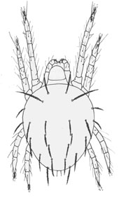 spider mite drawing