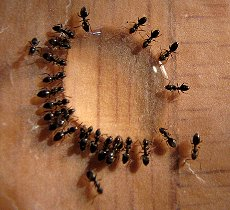 ants attracted to liquid ant bait