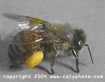 picture of honey bee with pollen sac