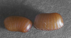 cockroach egg cases