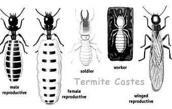 subterranean termites: reproductives, workers, soldiers