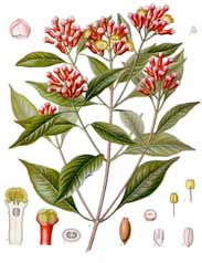 clove, a source of eugenol used in botanical pesticides