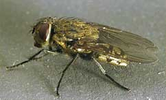 picture of cluster fly