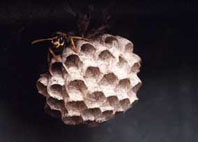 European paper wasp nest  - close