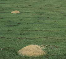 fire ant mounds