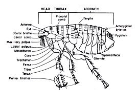 anatomy of a flea
