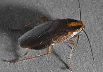 picture of German roach