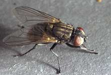 picture of house fly adult