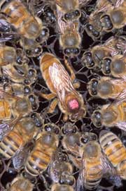 Africanized honey bees and queen