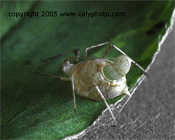 pea aphid mummy